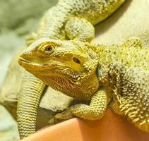 dragão iguana foto
