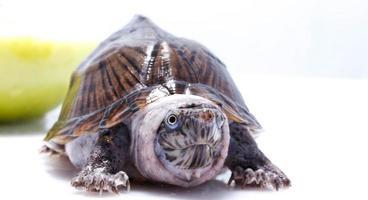 sorte animal de estimação - tartaruga foto