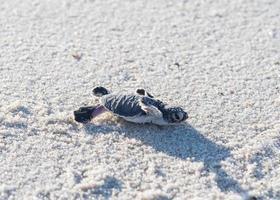 tartaruga verde para incubação foto