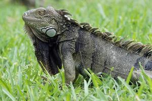 iguana verde, aruba, ilhas abc foto