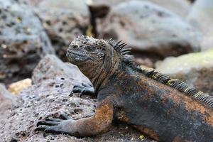 iguana marinha nas Ilhas Galápagos foto
