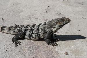 iguana verde na areia foto