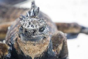iguana marinha nas Ilhas Galápagos