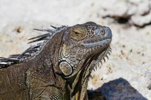 closeup de uma iguana mexicana