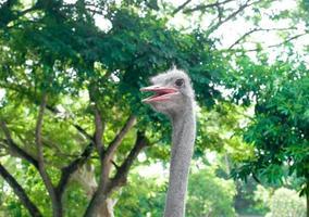 cabeça de avestruz na floresta foto