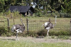 avestruz na fazenda foto