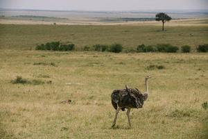avestruz no quênia