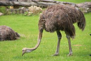 struthio camelus australis foto