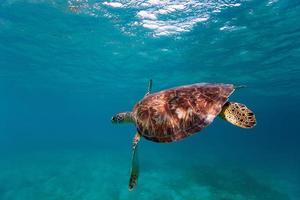 tartaruga-de-pente