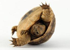 tartaruga bebê tombando com casca foto
