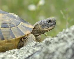 tartaruga com esporão ou tartaruga grega (testudo graeca) foto