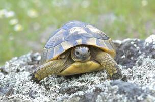 tartaruga de coxa de esporão (testudo graeca)