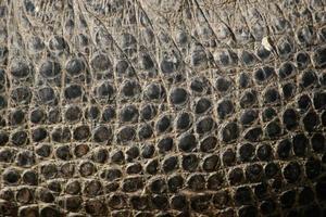 crocodilo do Nilo. textura da pele. foto