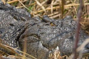 crocodilo da vida selvagem foto
