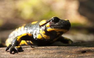 salamandra de fogo foto