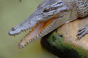 série de crocodilo foto