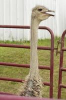 avestruz enjaulado foto