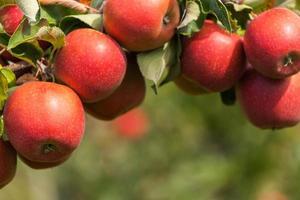 conjunto de maçãs no lago de constança, alemanha foto