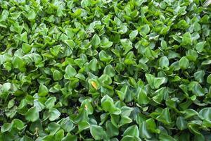 jacinto de água foto