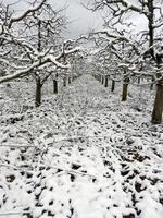 pomar de maçãs no inverno foto