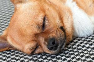 cachorro chihuahua vermelho dormindo no shemagh de fundo.