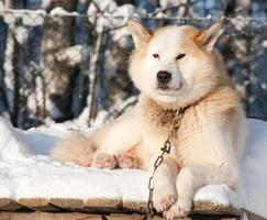 cão husky chukchi foto
