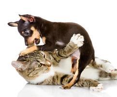 brigas de gato com um cachorro foto