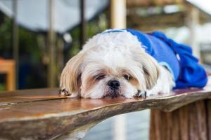 cachorro shih tzu bonito dormindo na mesa de madeira foto