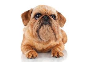 cão griffon de Bruxelas deitado foto
