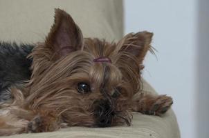 cão yorkshire foto