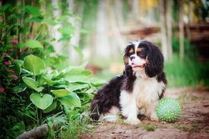 jovem cavalier king charles spaniel cachorro no jardim de verão foto