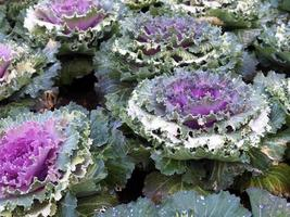couve-flor fresca foto
