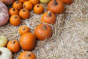 canteiro de abóbora em um campo de palha. plano de fundo para o outono