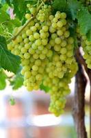 uvas na vinha, adega, vinho, manhã, foto