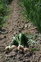 colheita de cebolas. foto