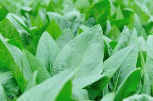 plantas de alface de folhas em crescimento foto