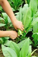mulher agricultor mãos escolher folha alface planta foto