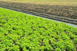 campo cultivado de alface foto