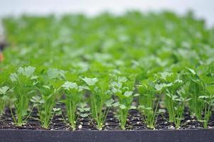 ervas verdes
