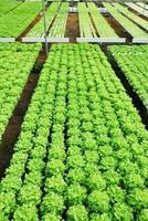 carvalho vermelho, carvalho verde, hidroponia cultivo vegetal verde em f foto