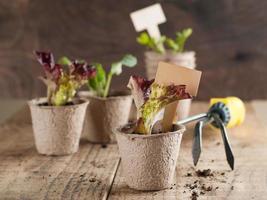 mudas de vegetais foto