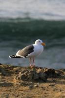 gaivota na rocha foto