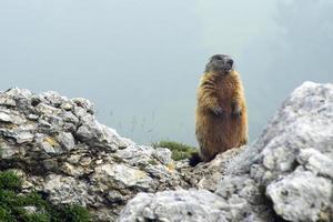 marmota em pé sobre uma rocha