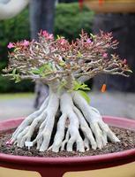 árvore bonsai foto