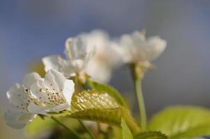 árvore de florescência foto