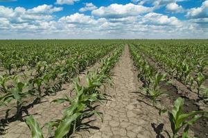 crescente campo de milho, verde paisagem agrícola
