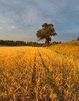 pôr do sol sobre o campo de cereais no verão foto