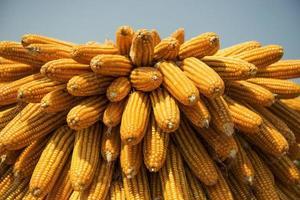 textura e fundo de milho seco foto