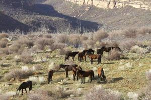 cavalos selvagens no canyon ocidental foto