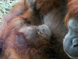 mãe e bebê orangotango foto